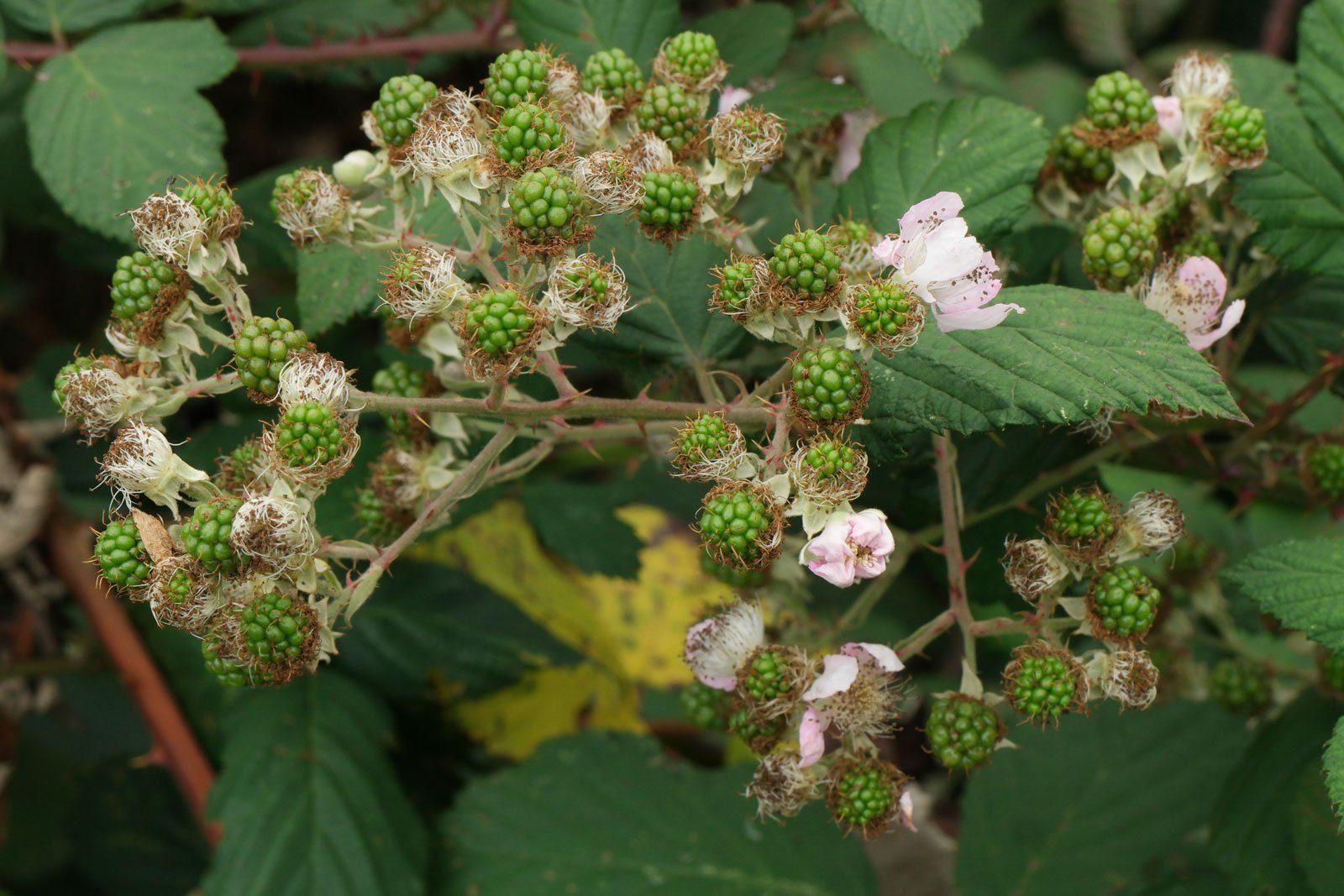 unripe Blackberries