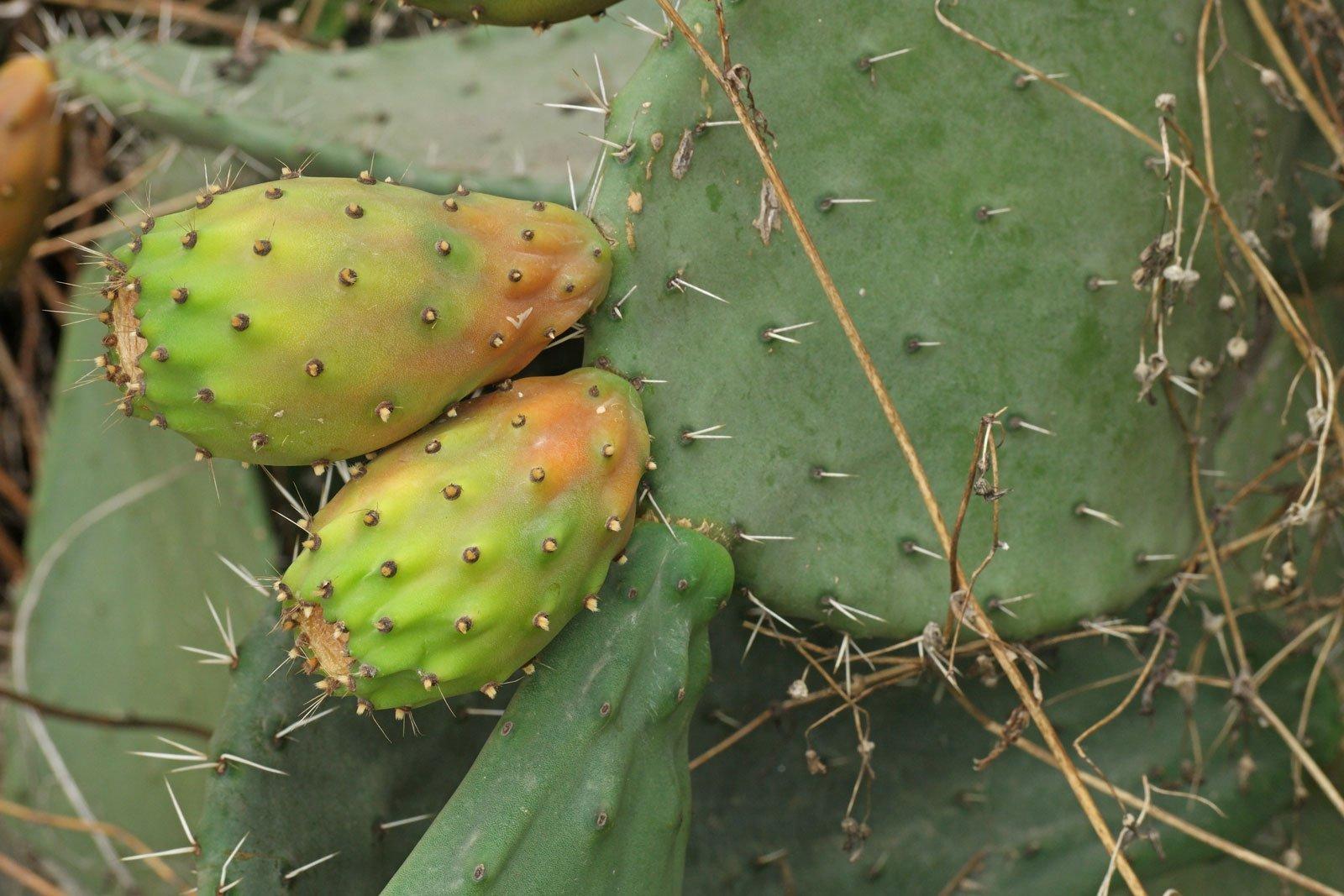 Opuntia ficus indica 3