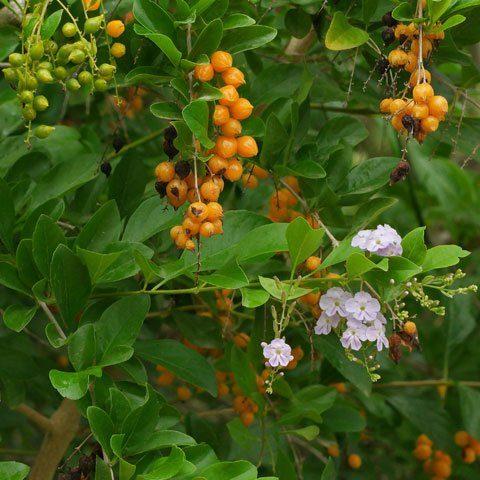 Berries Plant Identification