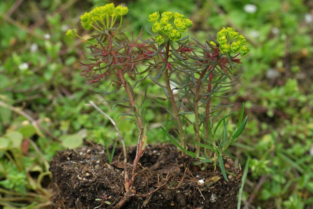Euphorbia cyparissias Rubra