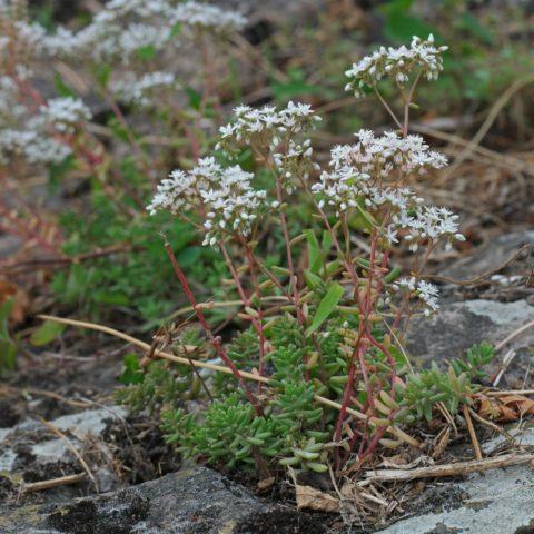 White Stonecrop