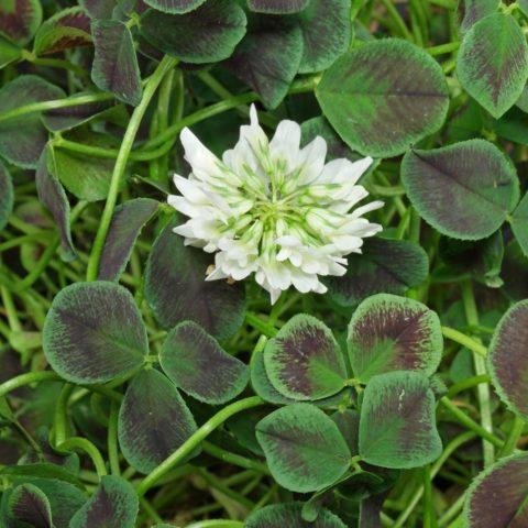 """Trifolium repens """"Estelle"""""""