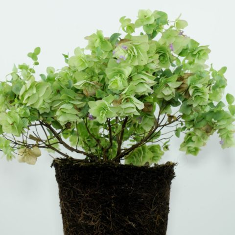 Round-Leaved Oregano
