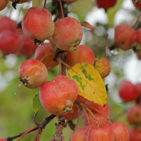 red Crabapple