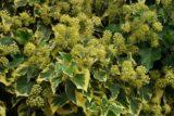 variegated Ivy
