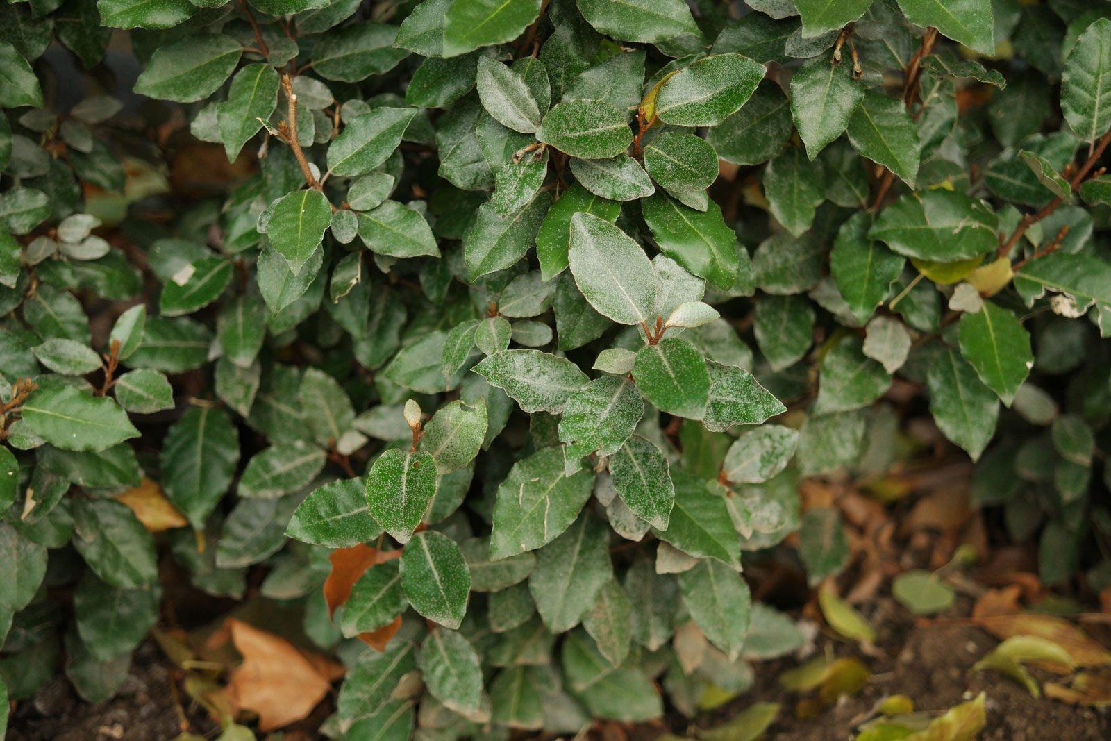 Evergreen Oleaster