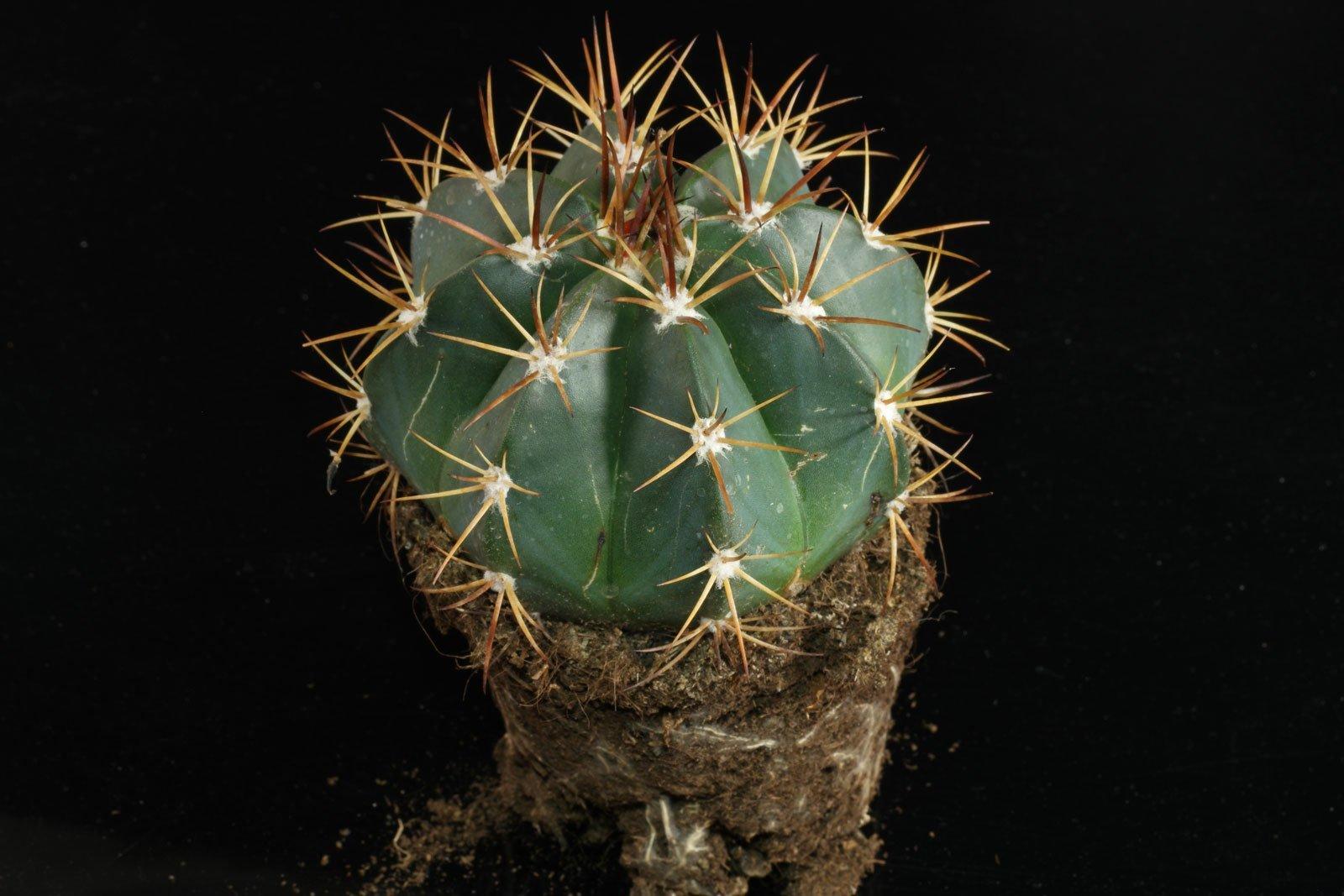 Melon Cactus