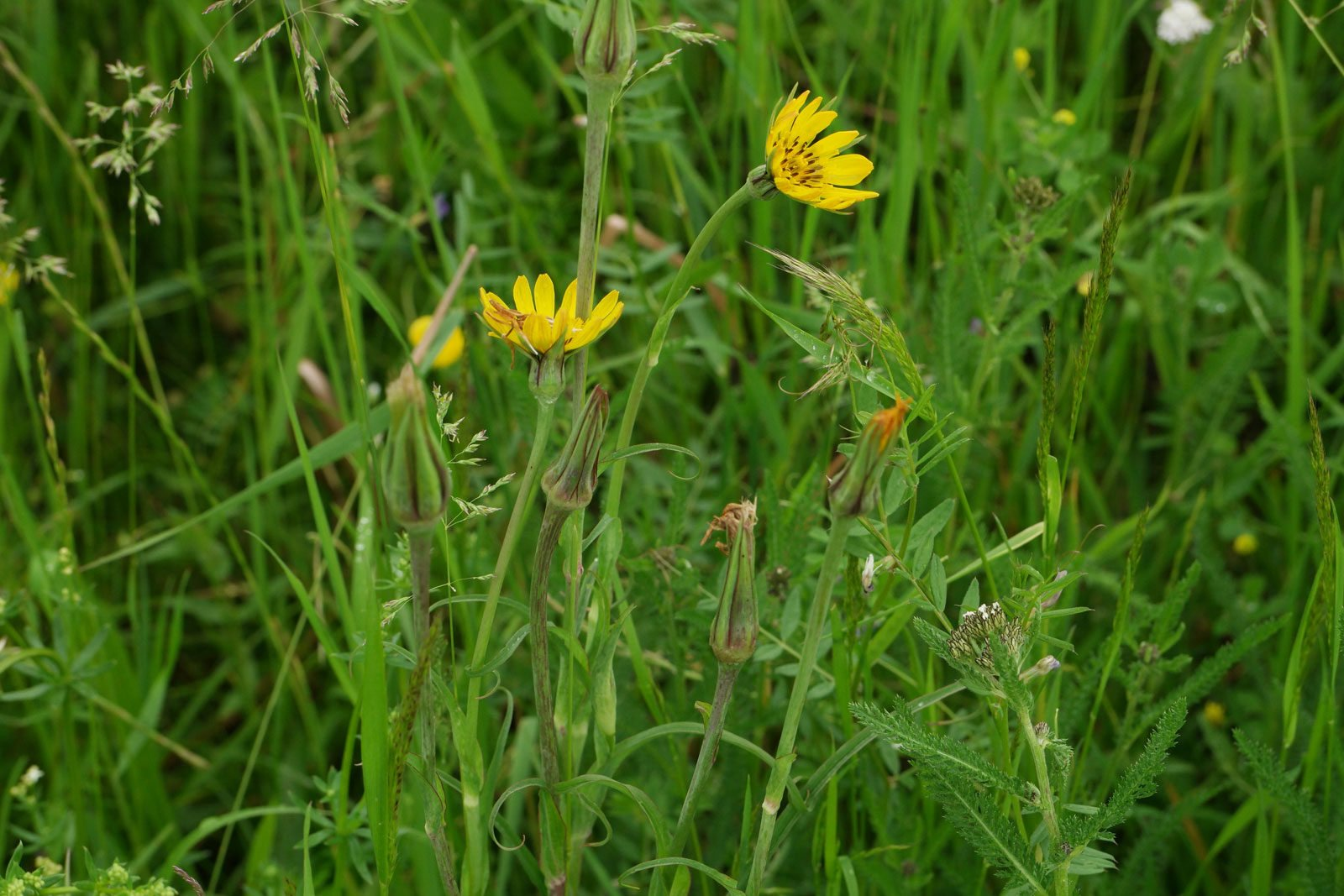 Meadow Goats-Beard