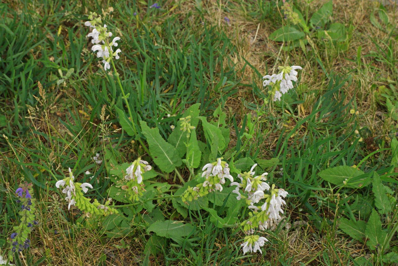 white Meadow Sage