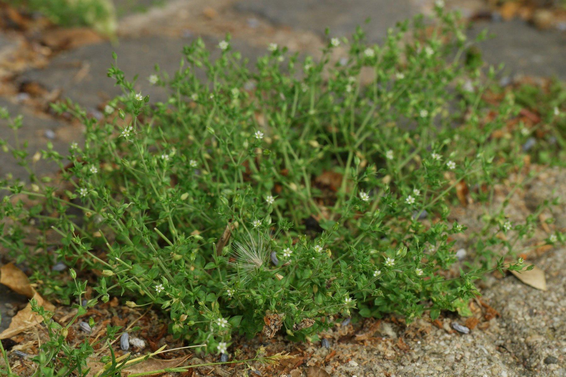 Thyme-Leaf Sandwort