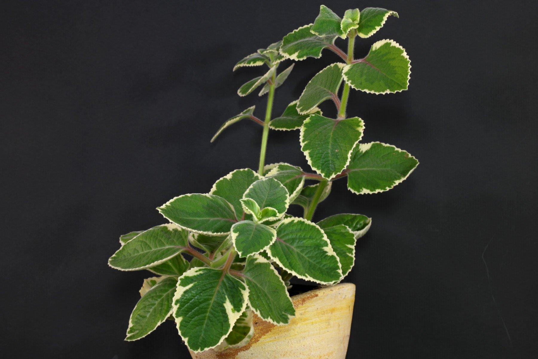 Plectranthus amboinicus Variegata 2