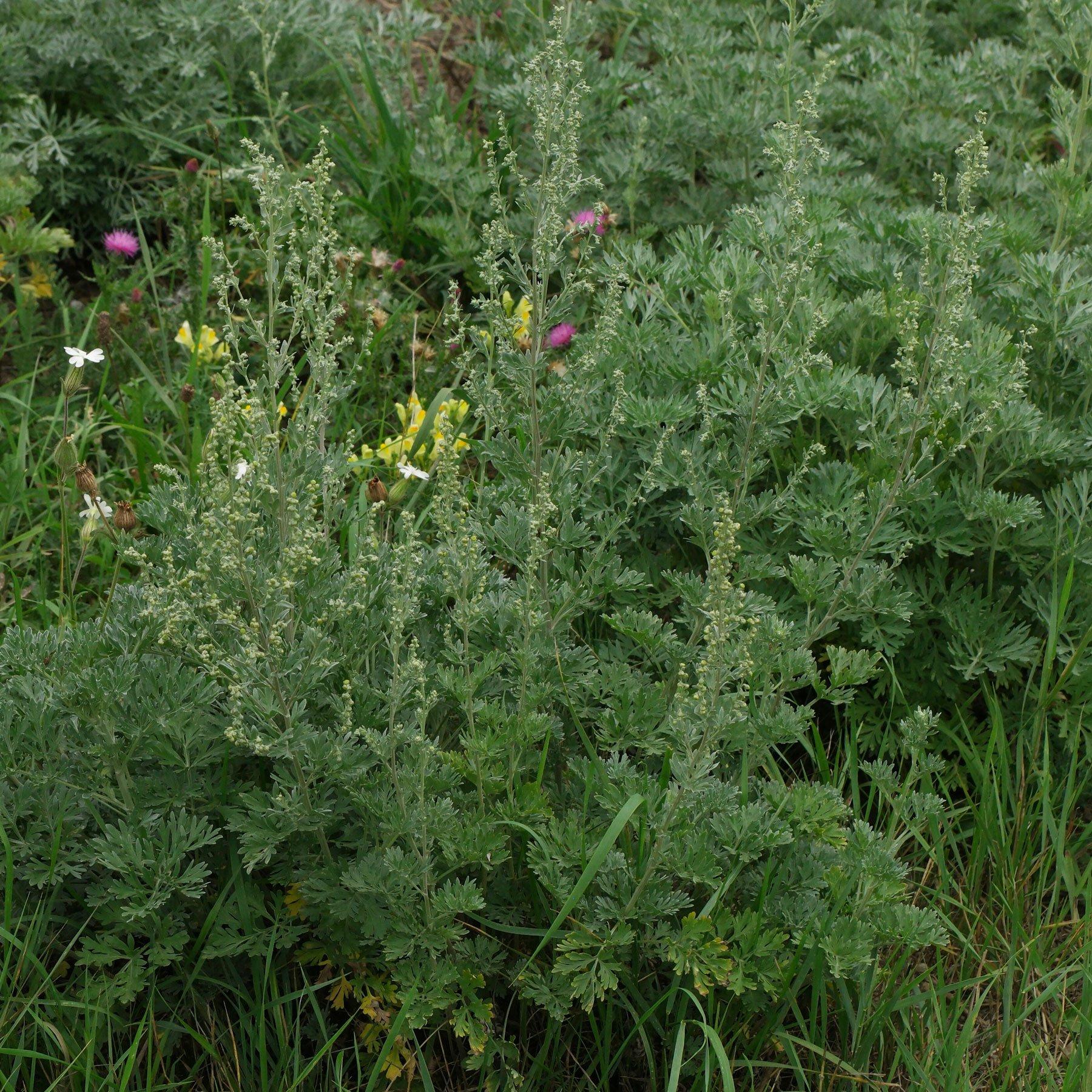 Artemisia absinthium 1