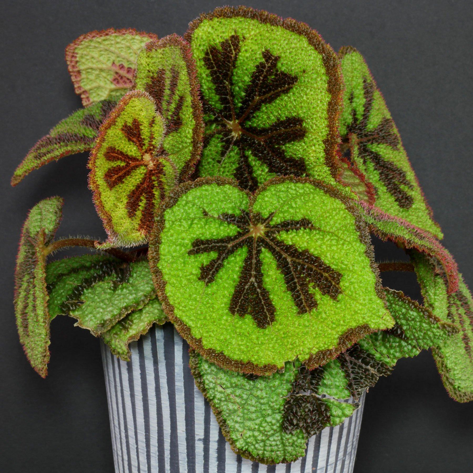 Begonia masoniana