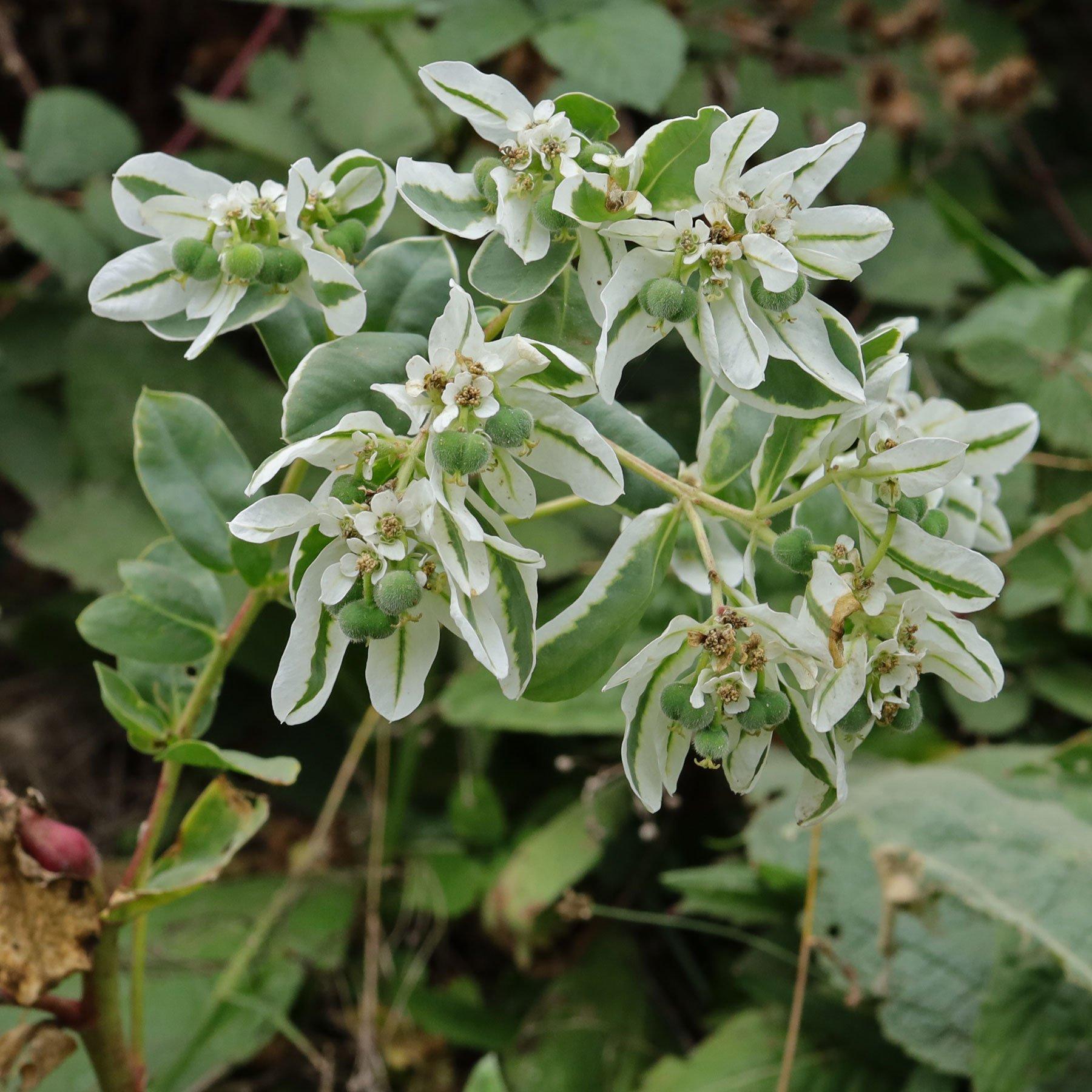 Euphorbia marginata