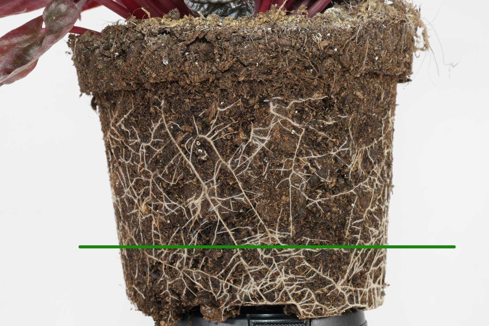 Peperomia caperata roots