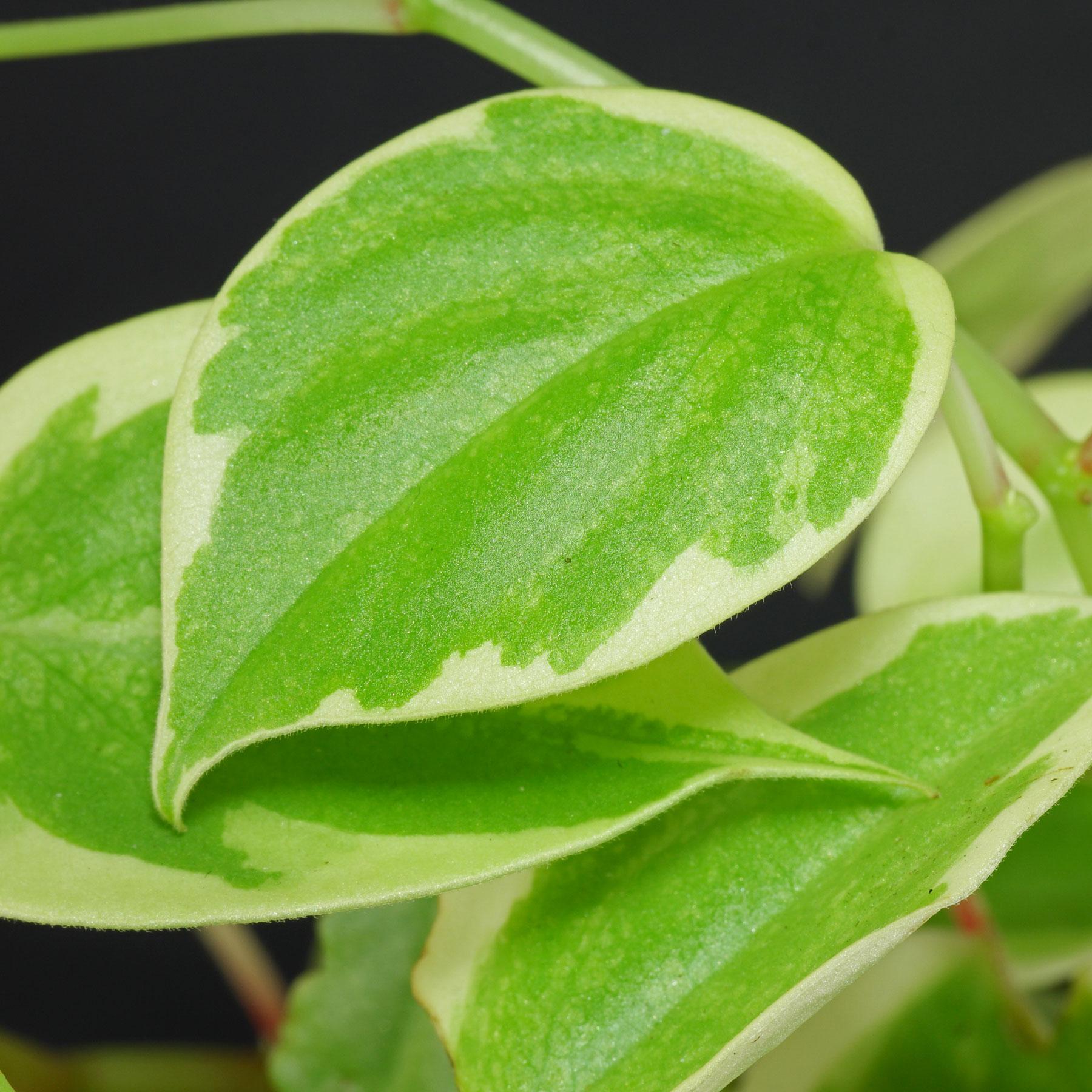 Peperomia scandens Variegata
