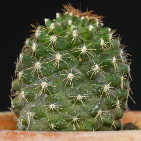 Copiapoa humilis subsp