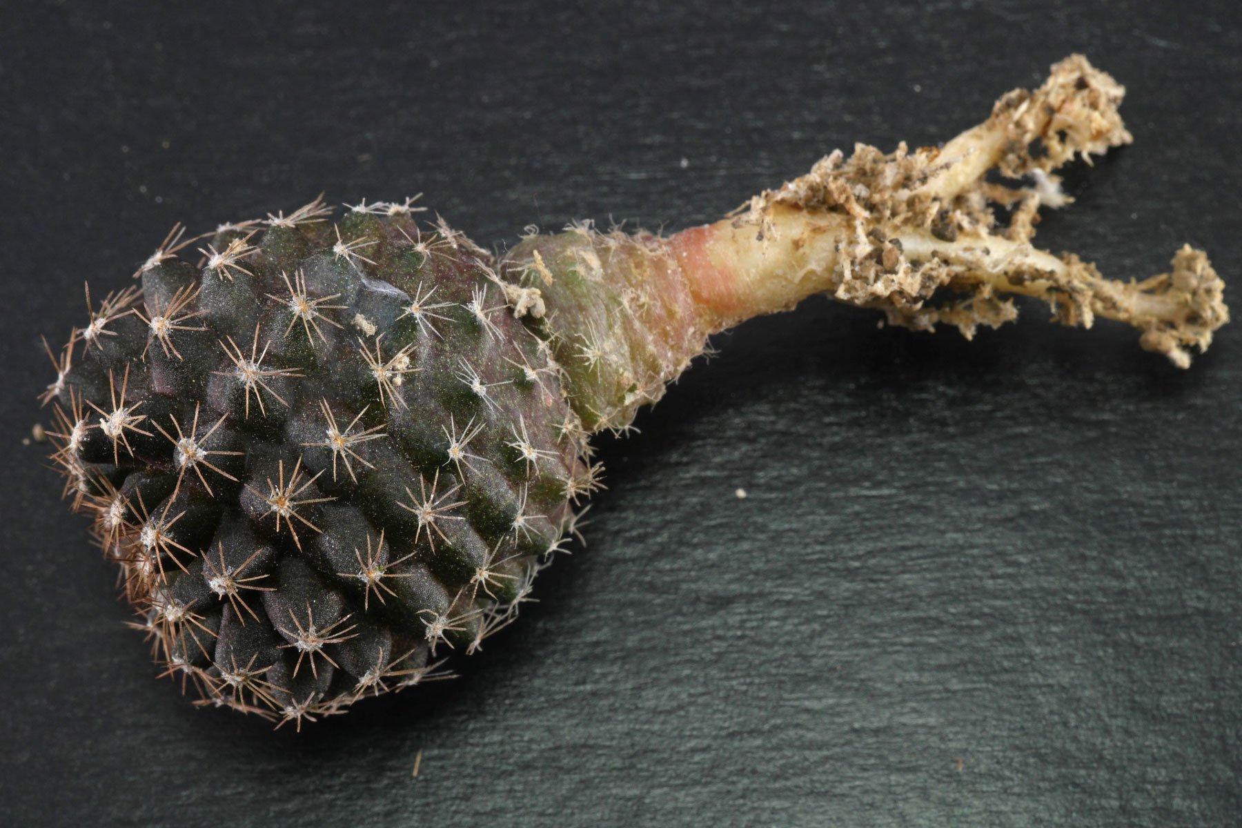Copiapoa humilis subsp. tenuissima