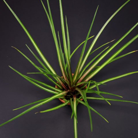 Wallisia cyanea Albo Marginata