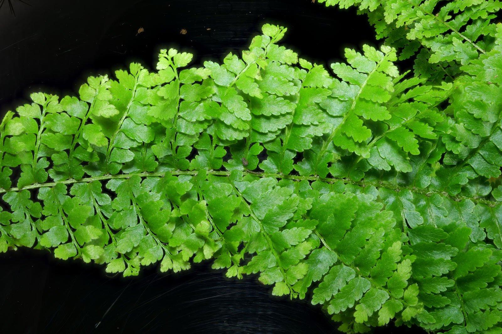 Nephrolepis exaltata cv.