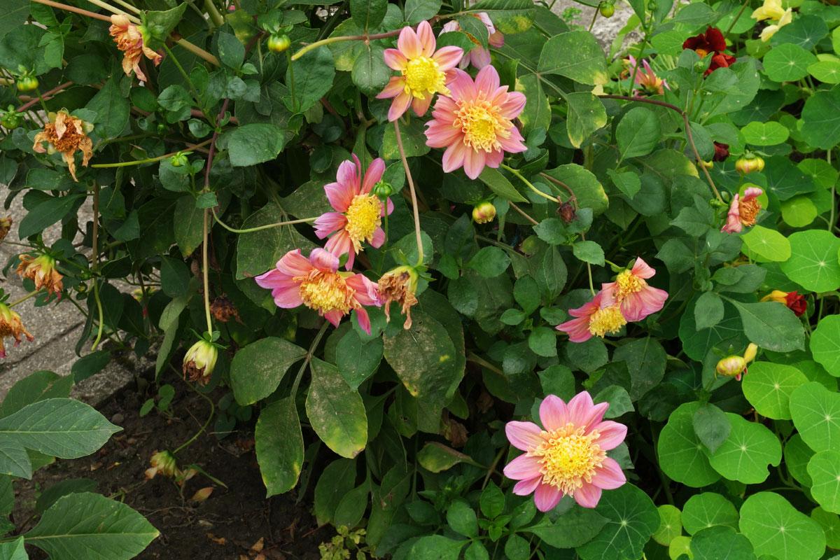 Dahlia Honey