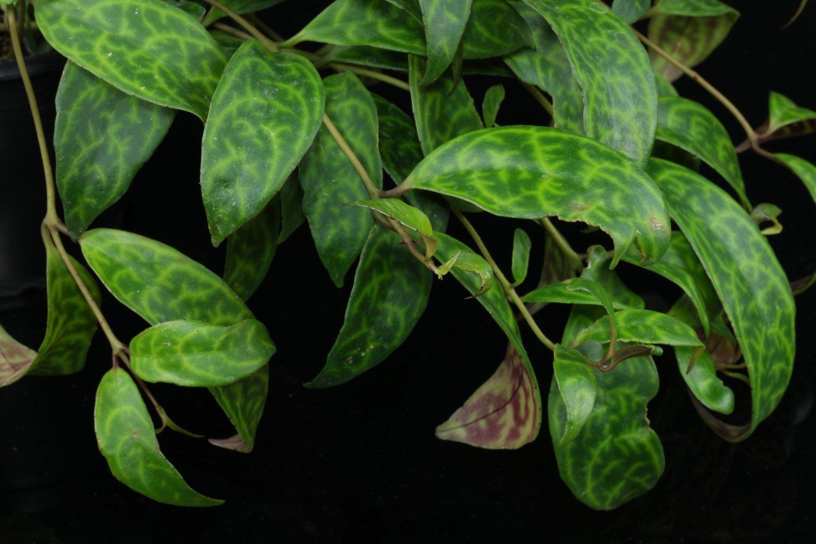 Aeschynanthus longicaulis