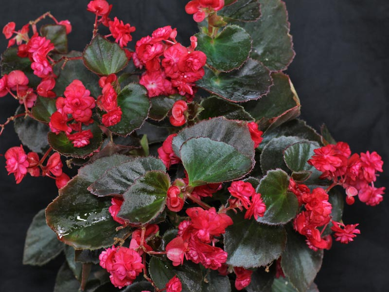Begonia Doublet Red
