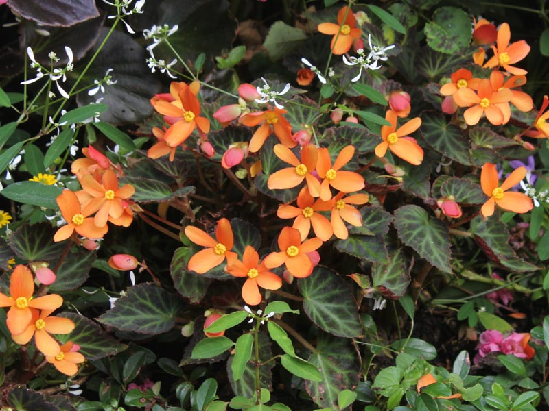 Begonia Sparks Will Fly