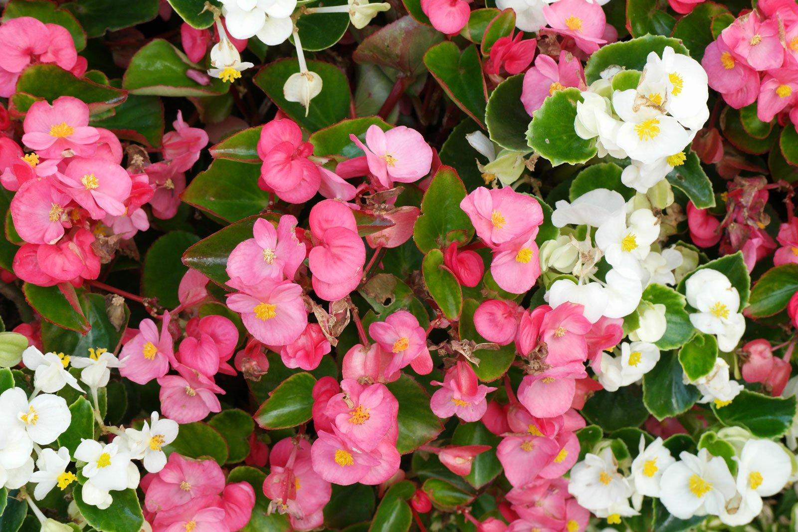 Begonia × semperflorens-cultorum