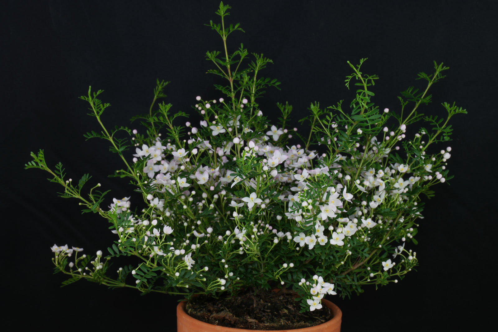 Boronia anemonifolia