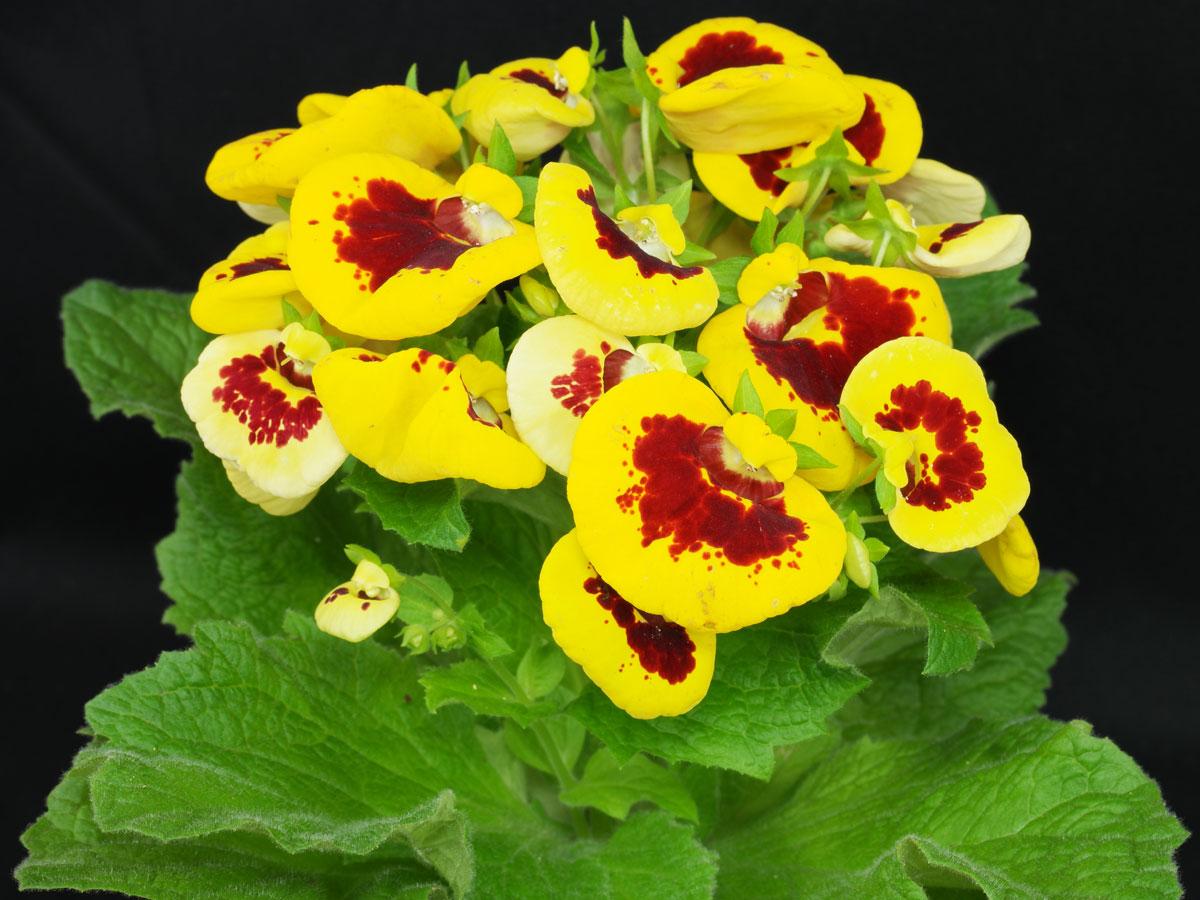 Calceolaria herbeohybrida 1
