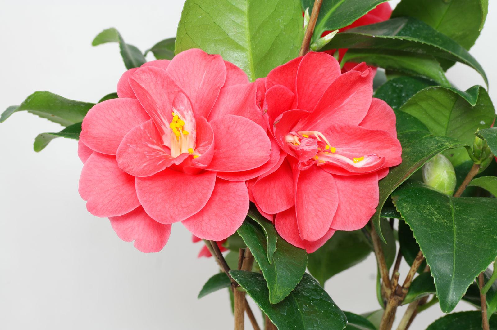 Camellia japonica Flame