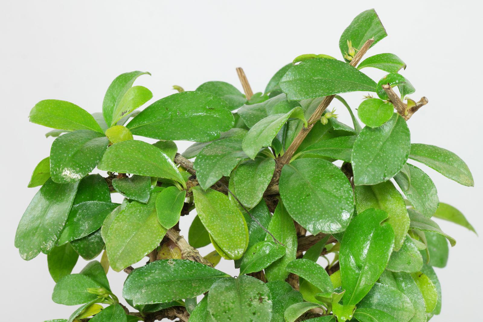 Carmona microphylla