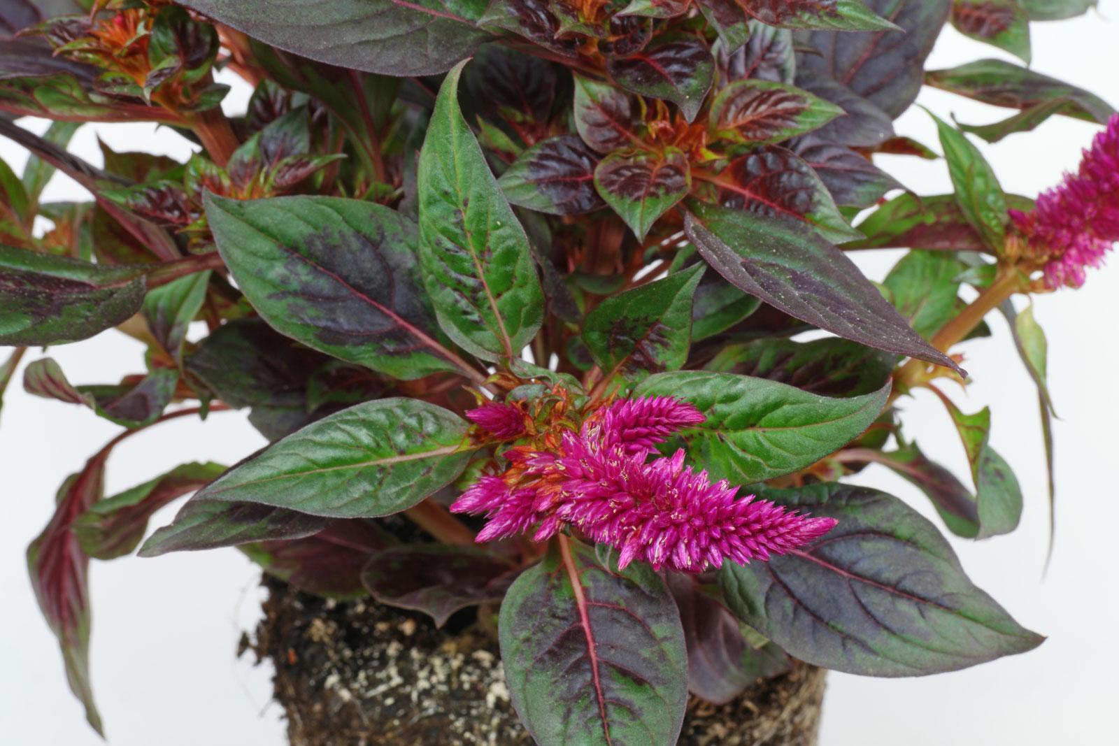 Celosia argentea Camina