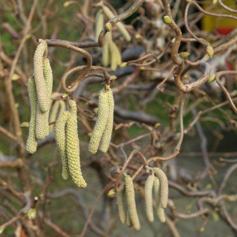 Corylus avellana Contorta