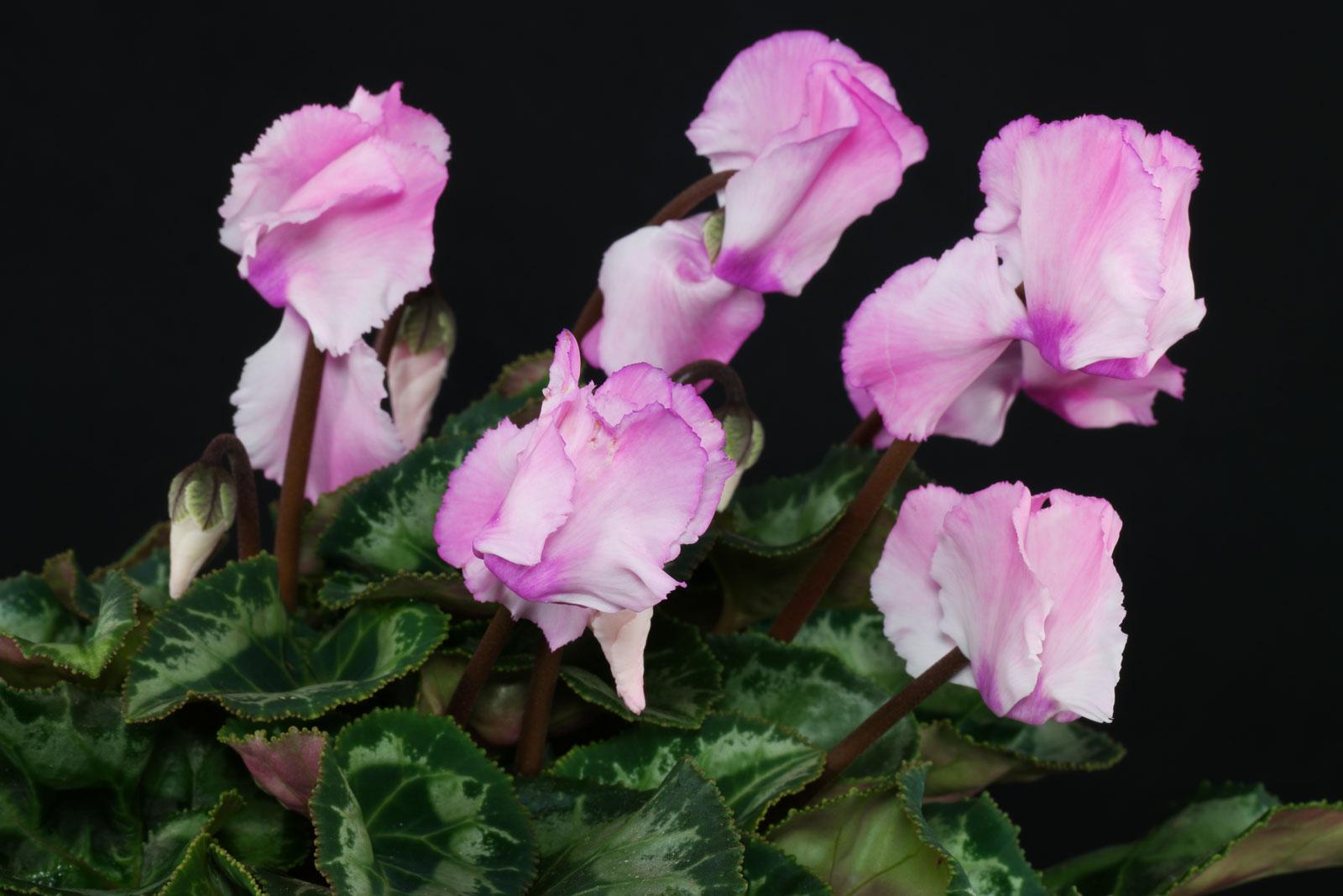 Cyclamen persicum cv