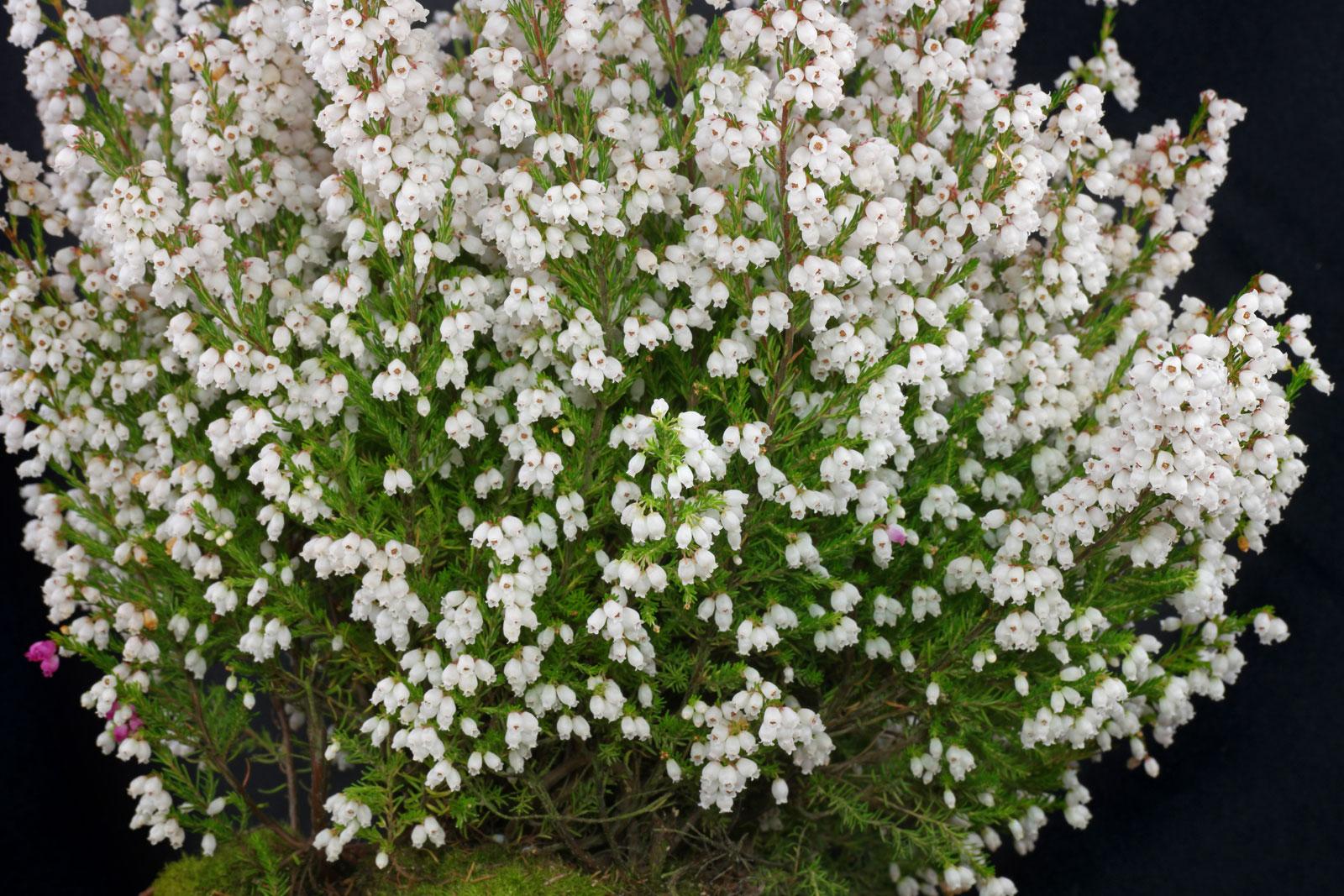 Erica gracilis cv.