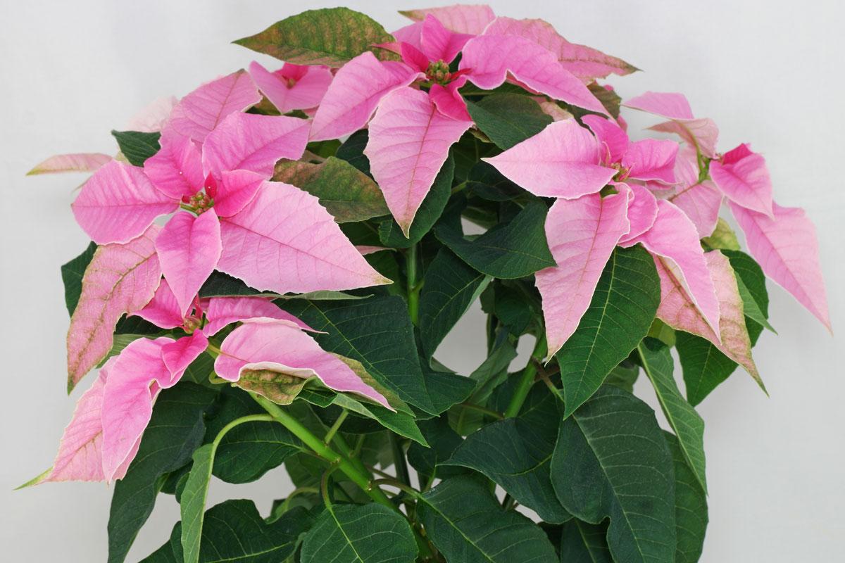 Euphorbia pulcherrima Princettia Pink