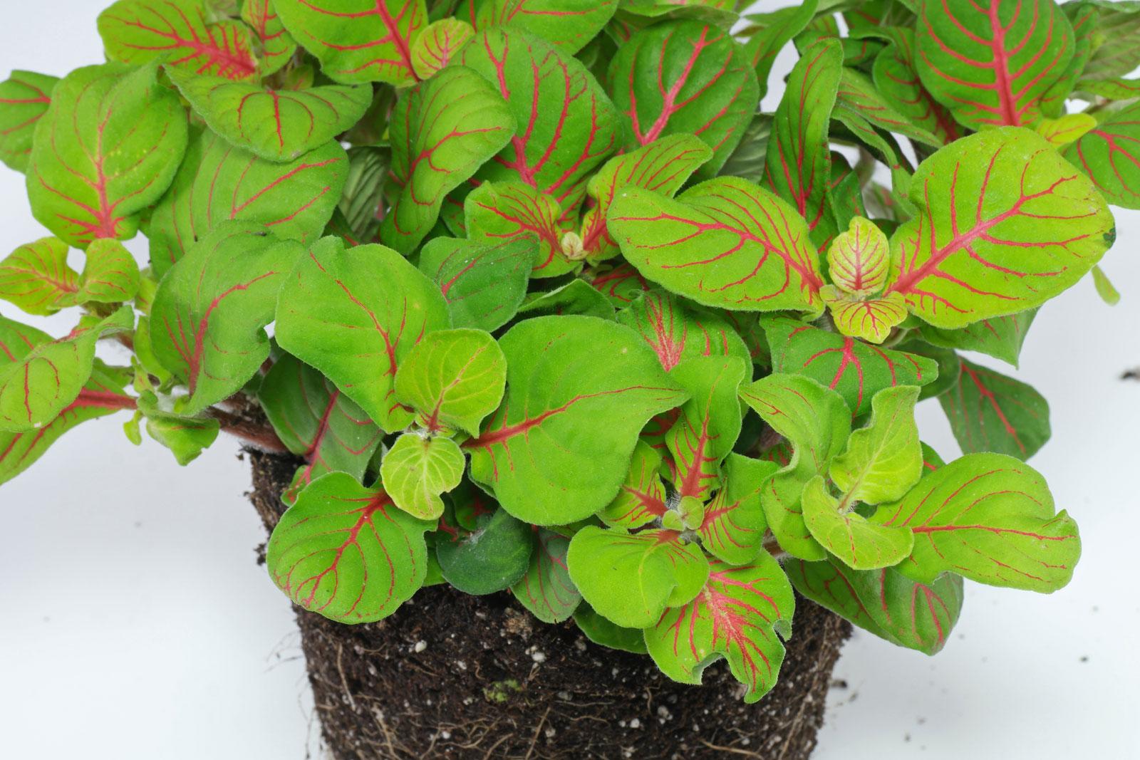 Fittonia albivenis cv.