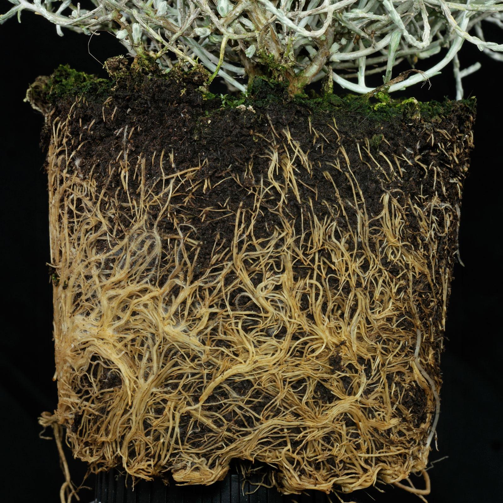 Leucophyta brownii
