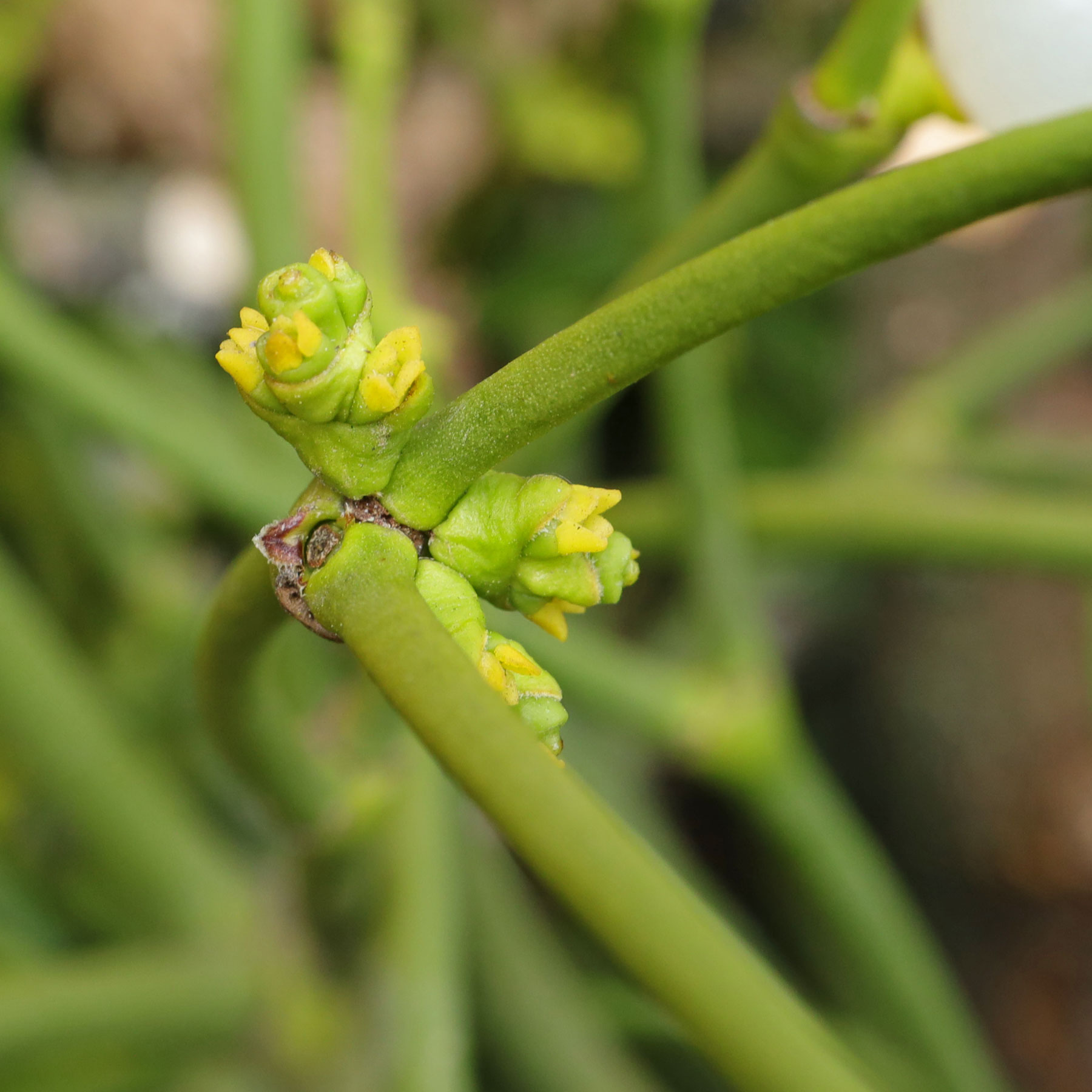 Mistletoe flowers