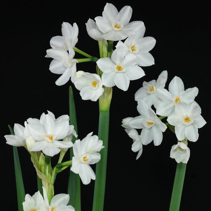 Narcissus-papyraceus