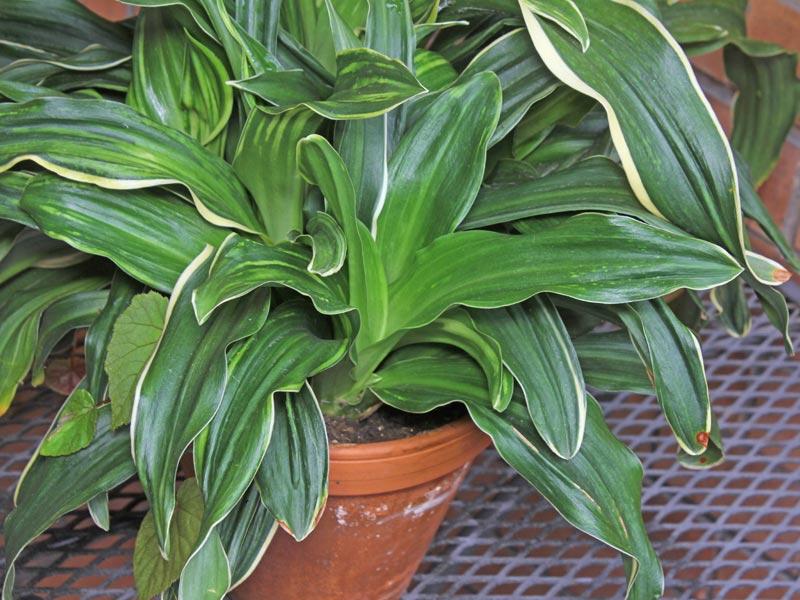 Nippon Lily