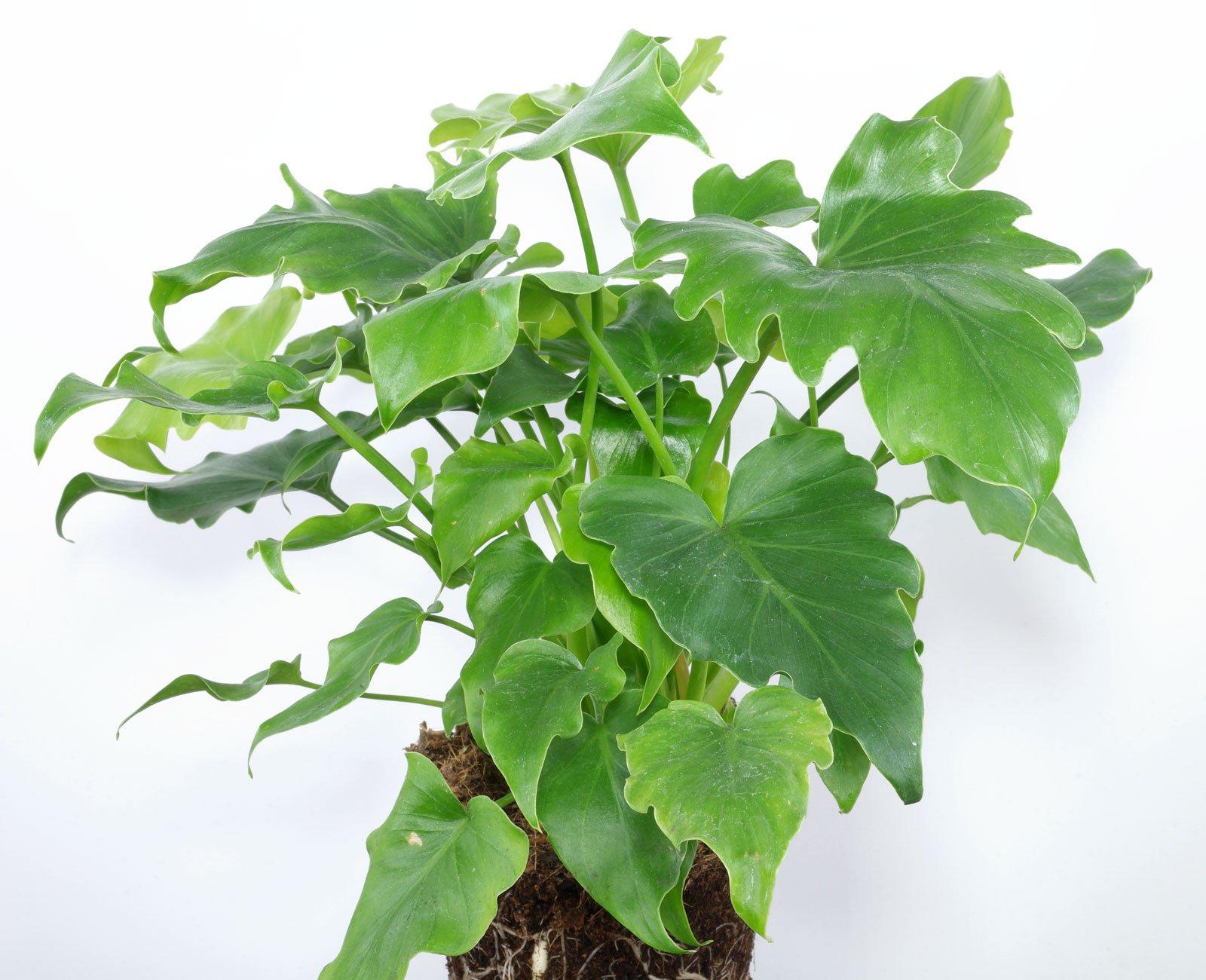 Philodendron bipinnatifidum Little Hope