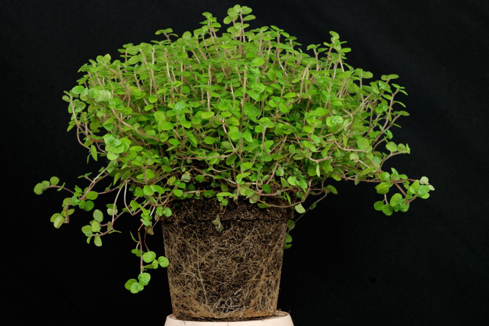 Soleirolia soleirolii