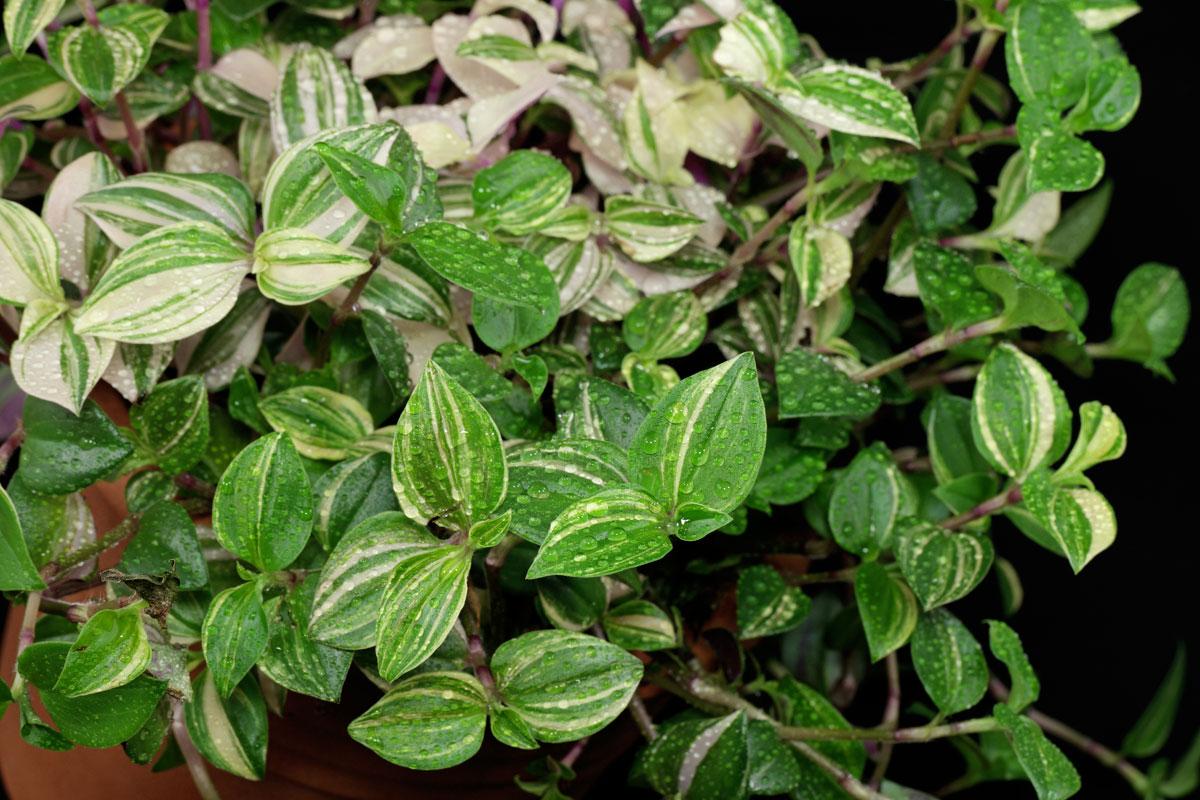 Tradescantia fluminensis Tricolor