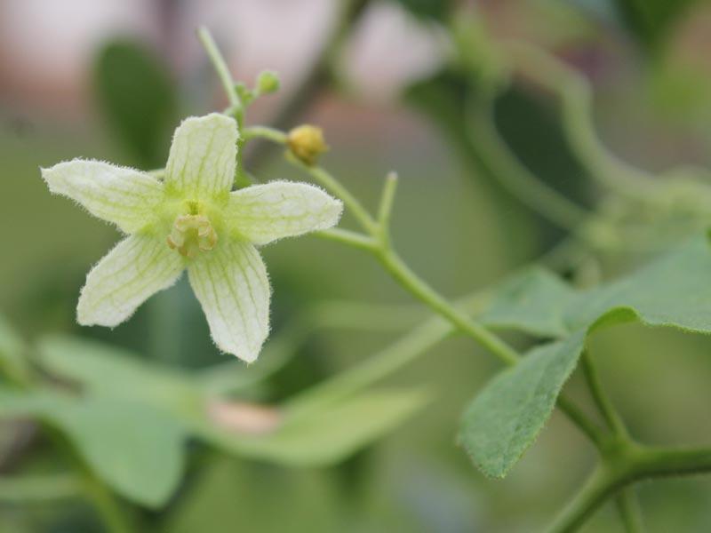 Bryony flower