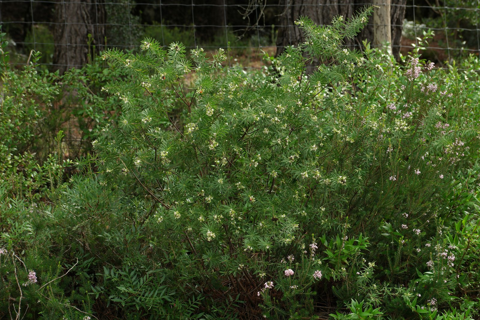 Daphne gnidium
