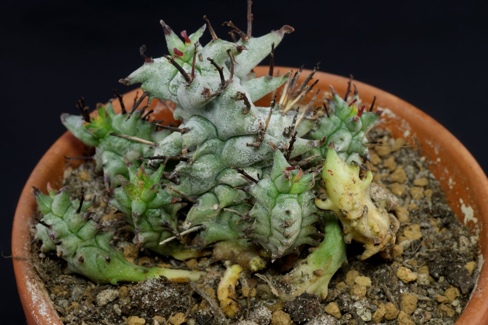 Euphorbia horrida Monstrosa