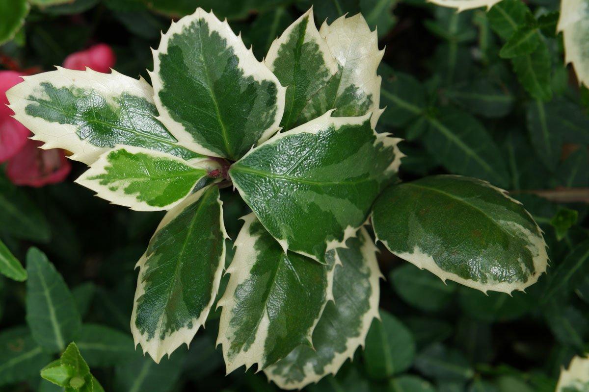 Ilex aquifolium Variegata
